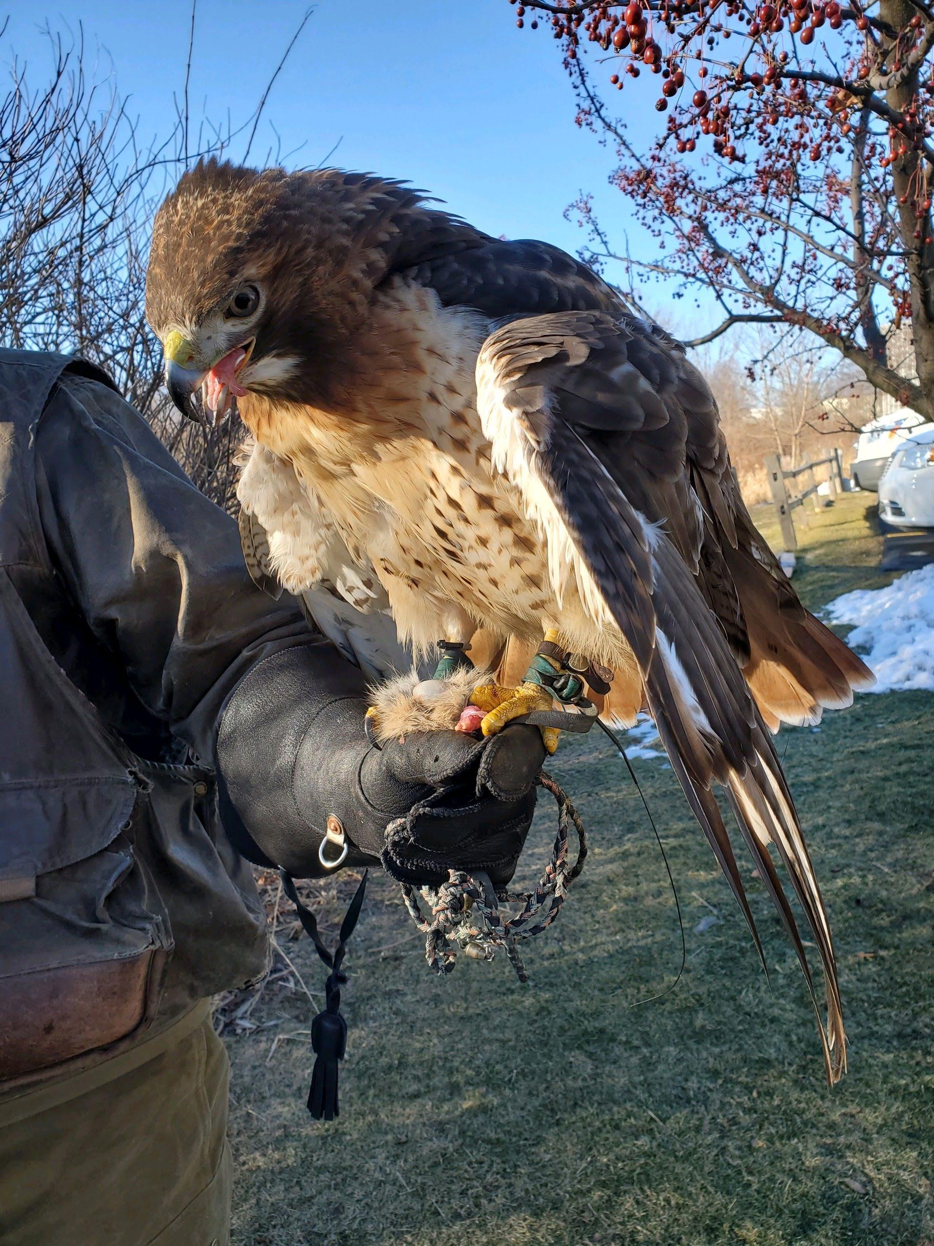 hunting falcon delta waterfowl